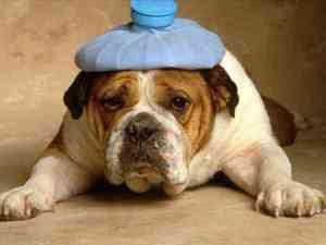 sick-bulldog